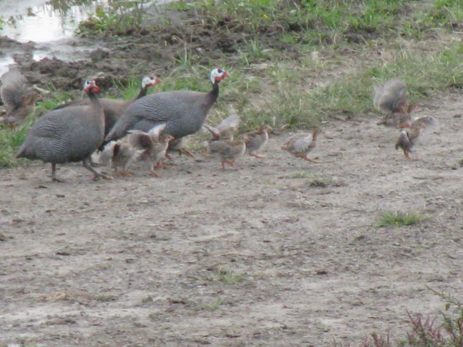 Our family of guineas (picture taken in 2102, but we may be expecting more babies! Stay tuned...we'll want to sell them)