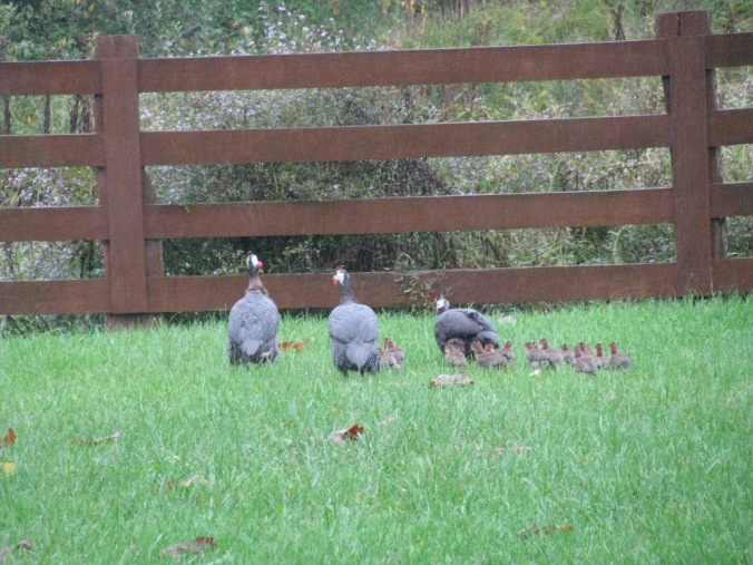 Guineas and their babies...come see them (and hear them...geez) They are all grown up now!
