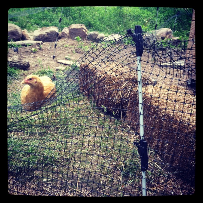 A Buff Orpington chick disregards its fence...oh well.