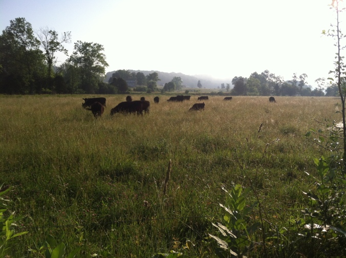 We keep telling you: these cows are GRASS-FED! You can hear them munching all day!